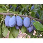 Pflaume (Prunus domestica) JOFELA®