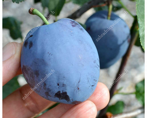 Pflaume (Prunus domestica) TOPEND PLUS®