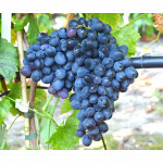 IVANKA Disease Resistant Seedless Table Grape Vine
