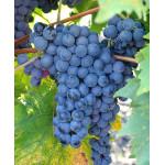 JUPITER Disease Resistant Seedless Table Grape Vine