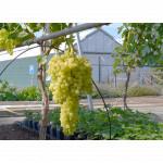 KISHMISH SITRONNY Disease Resistant Seedless Table Grape Vine