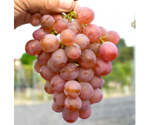 Seedless Disease Resistant Table Grapes