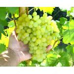KISHMISH OSENNY KRUPNOPLODNY Disease Resistant Seedless Table Grape Vine