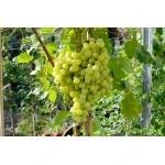 KIŠMIŠ VOLODAR bezsemenný rezistentný stolový vinič