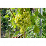 KISHMISH VOLODAR Disease Resistant Seedless Table Grape Vine