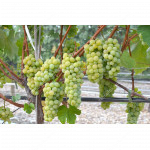 NEW YORK Disease Resistant Seedless Table Grape Vine