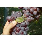 SKAZKA  bezsemenný rezistentný stolový vinič
