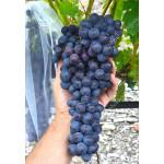 USPECH bezsemenný rezistentný stolový vinič