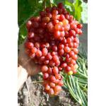 VELES Disease Resistant Seedless Table Grape Vine
