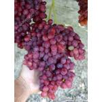 VELES bezsemenný rezistentný stolový vinič