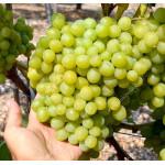 ARNI rezistentný stolový vinič