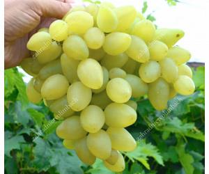 Frühe Pilzwiderstandsfähige Traubensorten