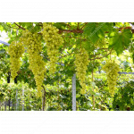 DOLGOZHDANY Disease Resistant Table Grape Vine