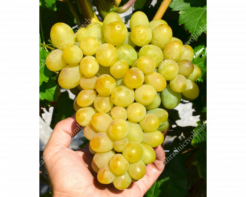 GALAKHAD Disease Resistant Table Grape Vine