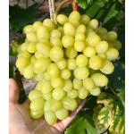 MILANA Disease Resistant Table Grape Vine