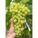 MONBLAN Disease Resistant Table Grape Vine