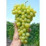 MONBLAN rezistentný stolový vinič