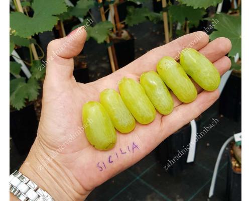SICILIA Disease Resistant Table Grape Vine