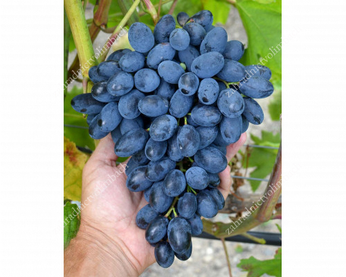 ATOS Disease Resistant Table Grape Vine