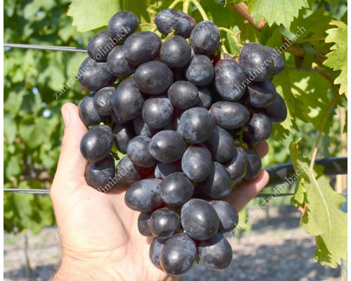 CHERNY KHRUSTAL Disease Resistant Table Grape Vine