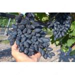 PAMYATI DZHENEYEVA Disease Resistant Table Grape Vine