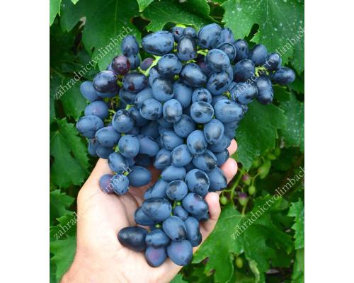 PREZENT Disease Resistant Table Grape Vine