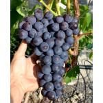 ROŠFOR rezistentný stolový vinič