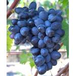 RUSLAN rezistentný stolový vinič