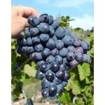 SHARADA UA® Disease Resistant Table Grape Vine