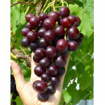 ALIBABA Disease Resistant Table Grape Vine