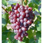 ANDRYUSHA Disease Resistant Table Grape Vine