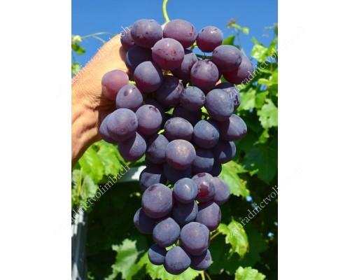 ARMANI rezistentný stolový vinič