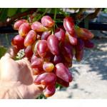 DUBOVSKI ROZOVY Disease Resistant Table Grape Vine