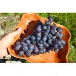 ETALON Disease Resistant Table Grape Vine
