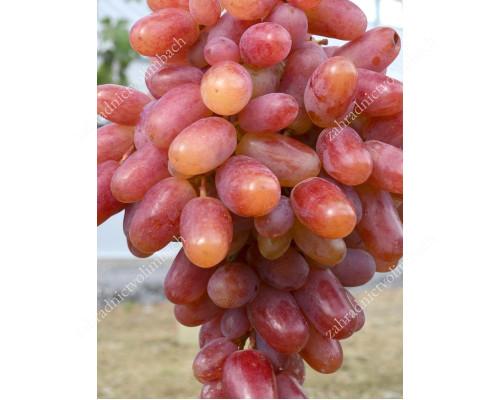 KLEOPATRA rezistentný stolový vinič