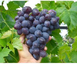 Sehr Frühe Pilzwiderstandsfähige Traubensorten
