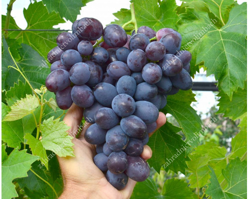 LORANO Disease Resistant Table Grape Vine