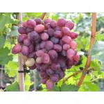 MARSELO rezistentný stolový vinič