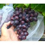 PODAROK NESVETAJA rezistentný stolový vinič