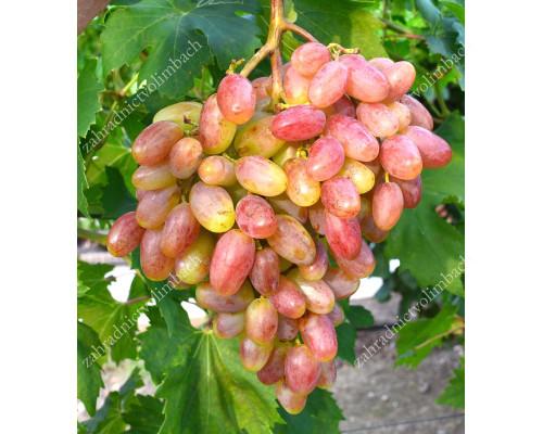 UCH TY Disease Resistant Table Grape Vine
