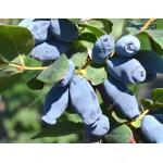 Blaubeere (Lonicera caerulea) AURORA®