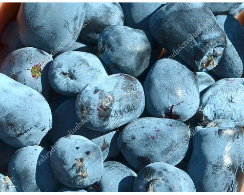 Zemolez (Lonicera caerulea) BOREALIS®