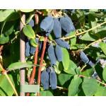 Blaubeere (Lonicera caerulea) JUGANA®