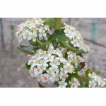 Black Chokeberry (Aronia melanocarpa) NERO