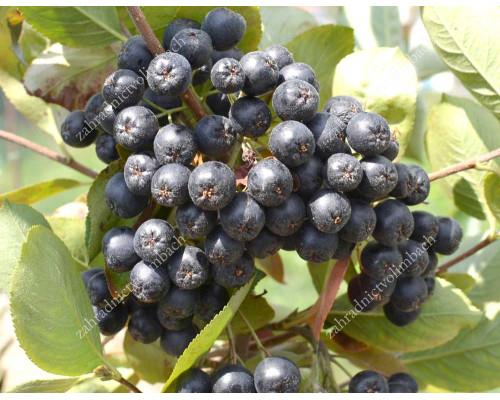 Black Chokeberry (Aronia melanocarpa) VIKING