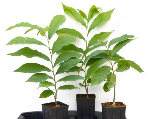 Pawpaw tree (Asimina triloba) seedling