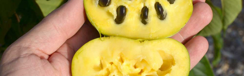 Pawpaw - cultivation instructions and nutritional value