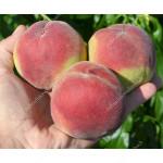 Peach (Prunus persica) AMSDEN