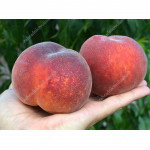 Peach (Prunus persica) AVALON PRIDE