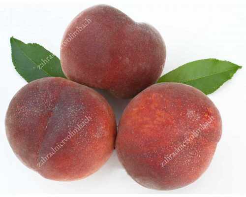 Pfirsich (Prunus persica) AVALON PRIDE